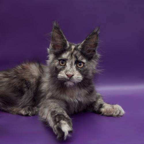 черная дымная черепаховая кошка Мейн кун Victorycoon Kaela