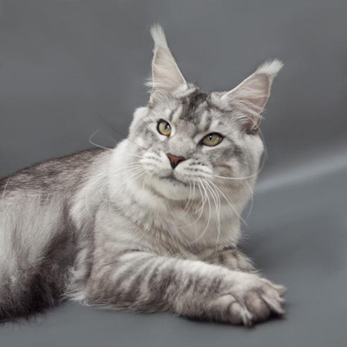 черный серебряный тикированный кот Мейн кун Bloomingtree Wotan